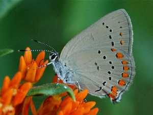 coral-hairstreak